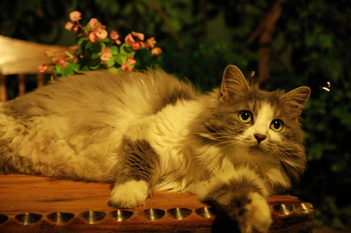 壁纸 动物 猫 猫咪 小猫 桌面 720_478