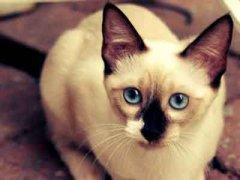 怎么训练暹罗猫?爱喵咪来帮您!