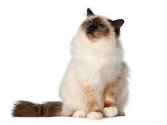 伯曼猫长什么样?