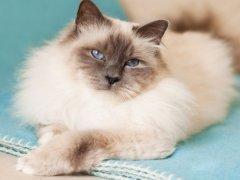 怎样买到纯种猫?