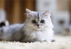 如何训练猫咪握手?