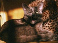 孟买猫怎么消除泪痕